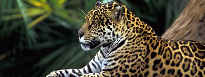 Jaguarの発音が全くジャガーに聞こえない件について